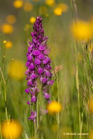 Dactylorhiza elata - Grote rietorchis - Robust marsh orchid - Satirión real