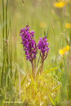 Dactylorhiza majalis ssp. majalis - Brede orchis - Broad-leaved Marsh Orchid