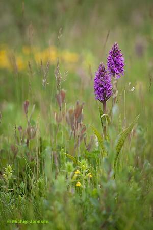 Dactylorhiza praetermissa var. junialis - Gevlekte rietorchis - Southern marsh orchid - Orquídea de marzo leopardo