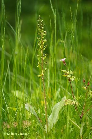Neottia ovata (L.) Bluff & Fingerhuth (1838) - Grote keverorchis - Common Twayblade