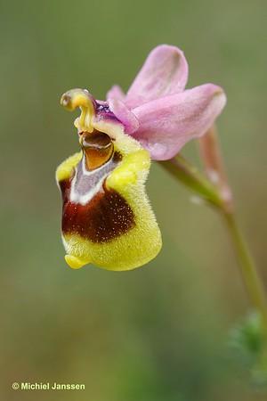 Ophrys leochroma - Lion-maned Ophrys