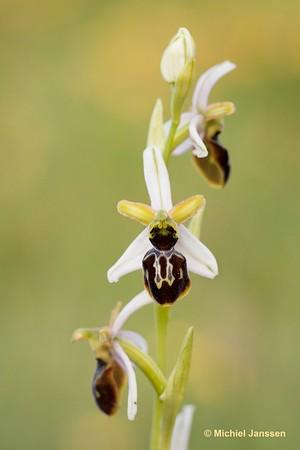 Ophrys castillana - Castilian ophrys