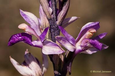 Limodorum abortivum - Paarse aspergeorchis - Violet Limodore - Planta hambrienta o limodoro violeta