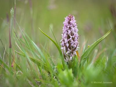 Dactylorhiza incarnata var. lobelii - Vleeskleurige duinorchis - Early Marsh Orchid - Dactylorhiza encarnada