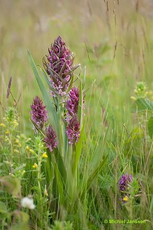 Dactylorhiza incarnata - Vleeskleurige duinorchis - Early Marsh Orchid - Dactylorhiza encarnada