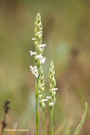 Spiranthes cernua - Knikkende schroeforchis - Nodding lady's-tresses